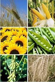 сільськогосподарські культури