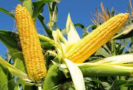 міндобрива для кукурудзи